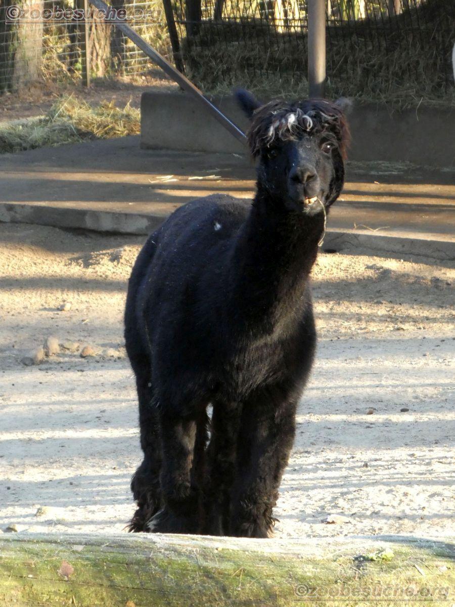 Alpaka  (3)