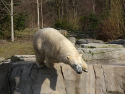 Eisbär