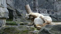 Eisbär  (39)
