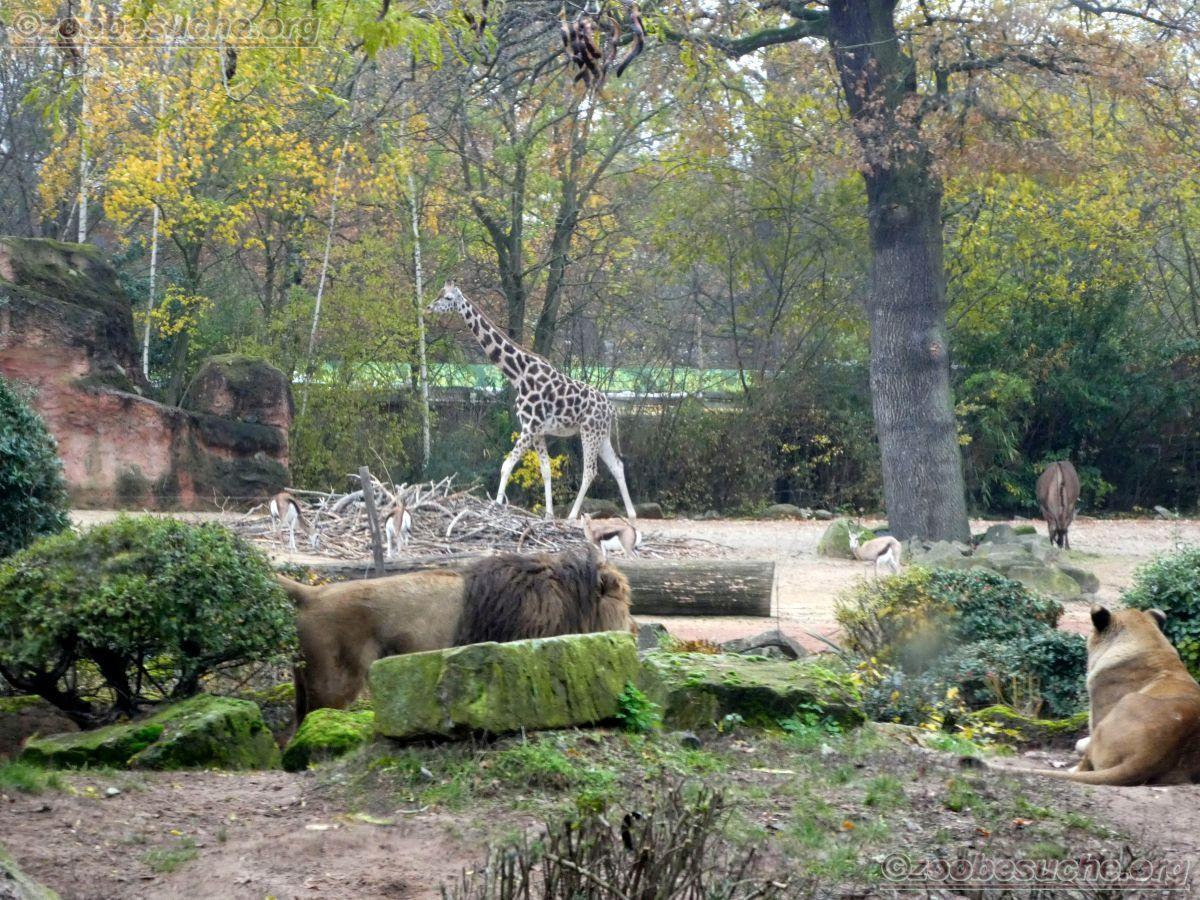Berberlöwen (4)