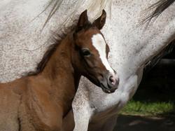 Pferd  (2)