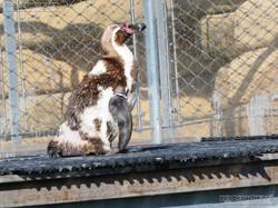 Humbold Pinguine  (2)