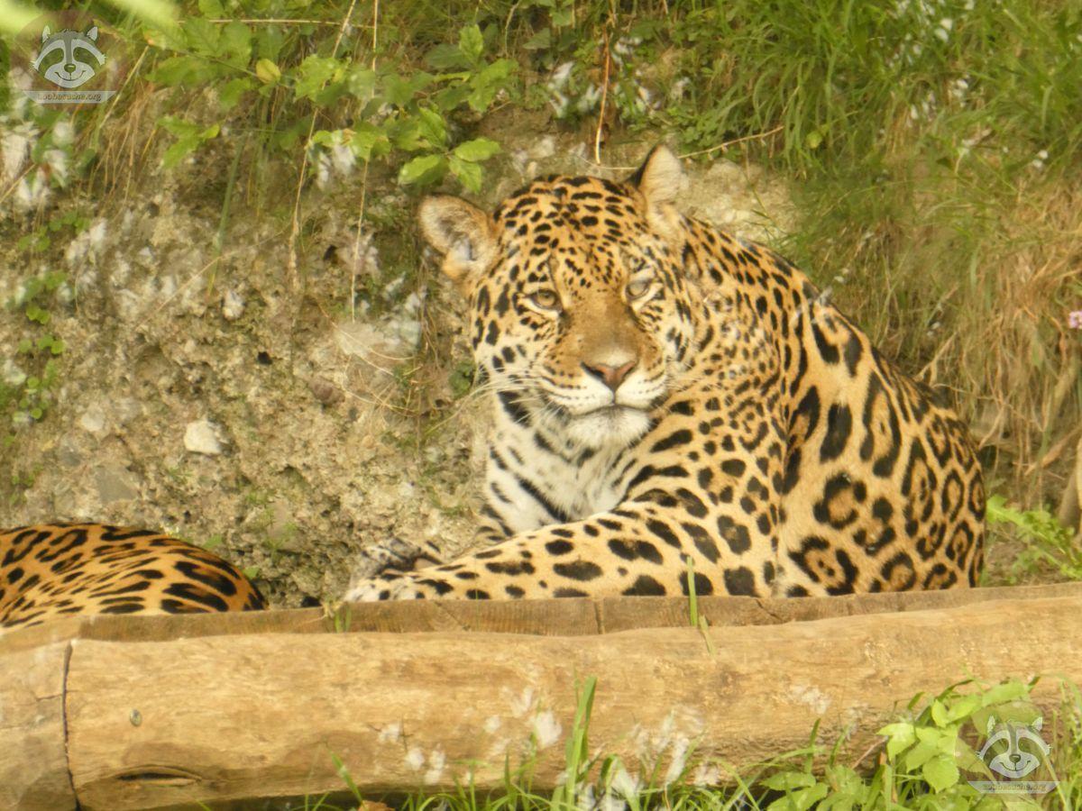 Jaguar (5)