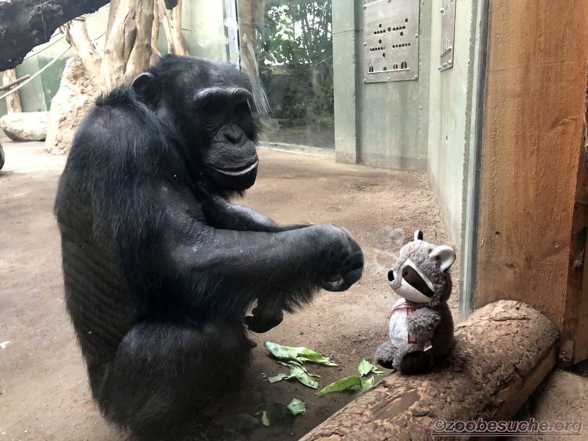 Wuschel mit Schimpanse  (3)