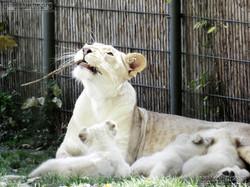 Löwen  (43)