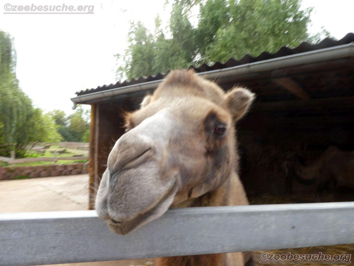Kamel  (2)
