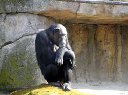 Schimpanse  (1)