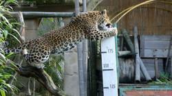 Leopard Julius  (14)