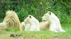 Weißer Löwe  (1)