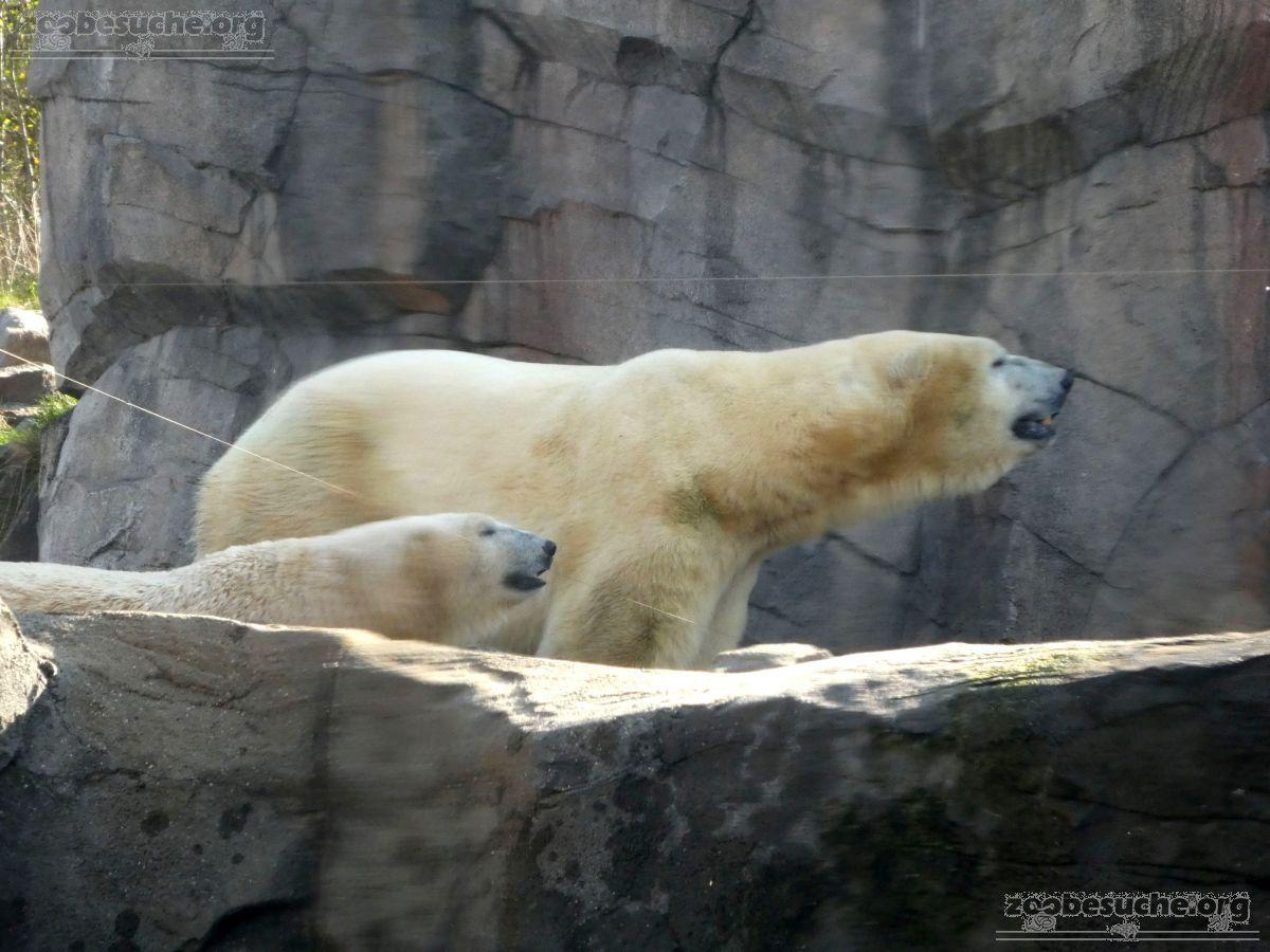 Eisbären_Milana_und_Sprinter__(1)
