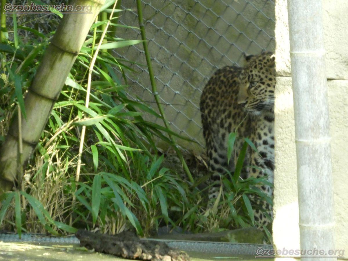 Leopard Cleo  (1)
