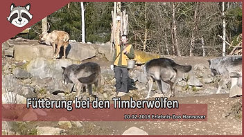 Timberwolf_fütterung.jpg
