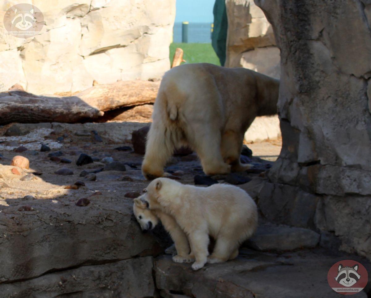 Eisbären  (1)