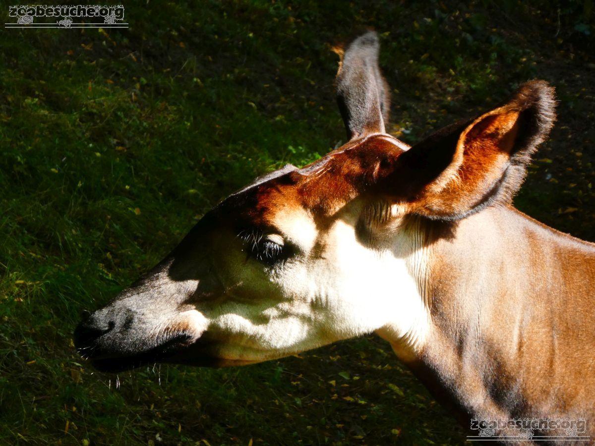 Okapi  (6)