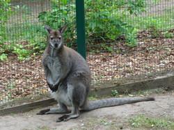 Känguru  (1)