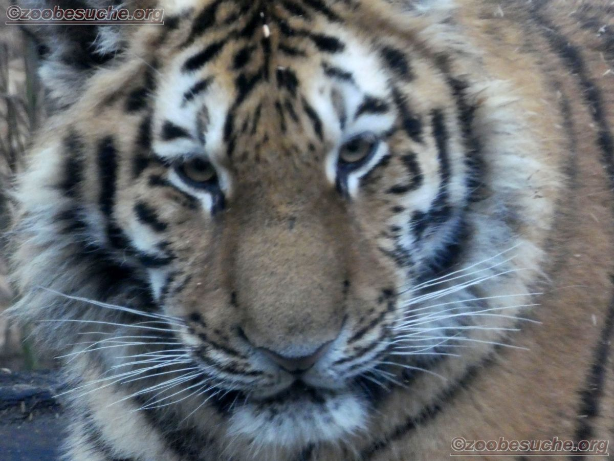 Tiger  (7)