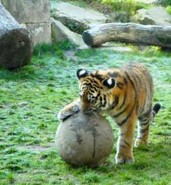 Tiger Jungtier  (8)