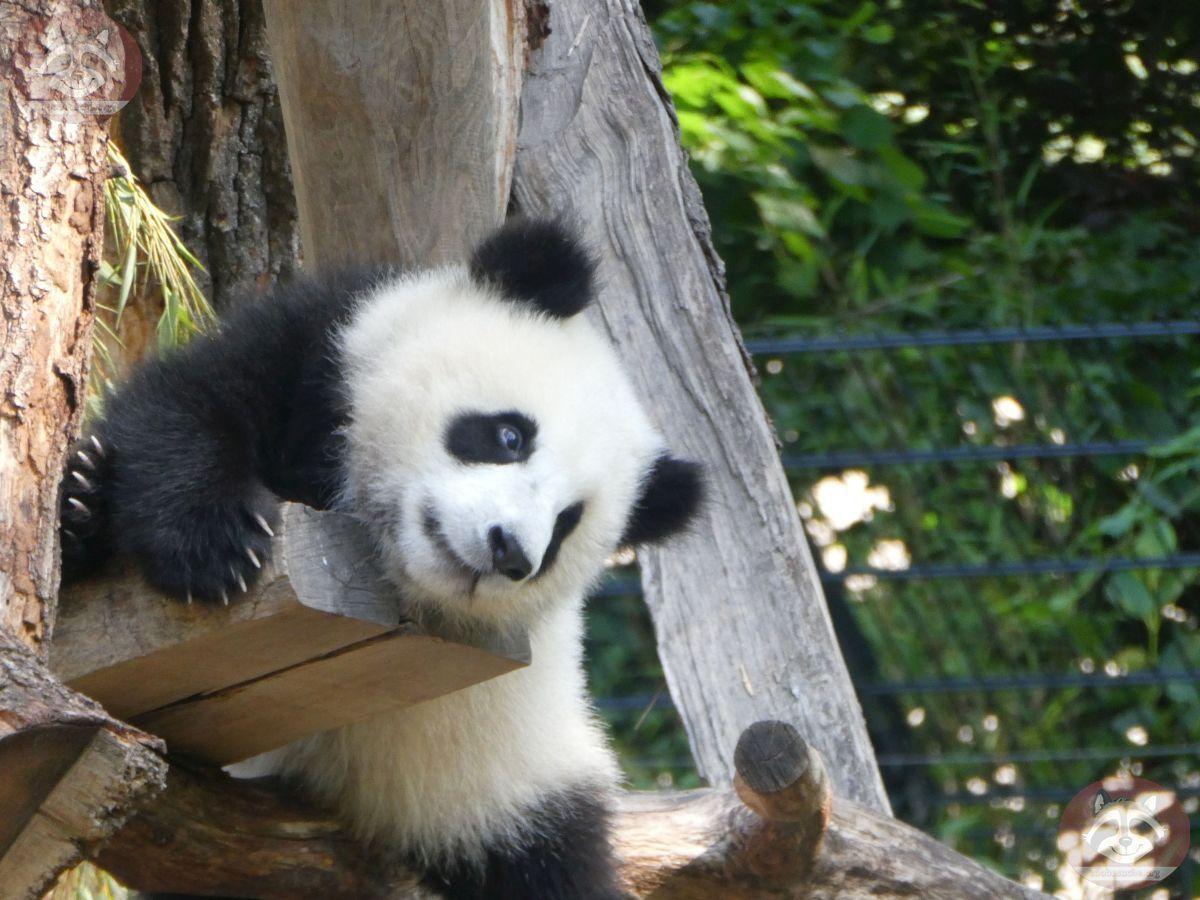 Panda Jungtier  (19)