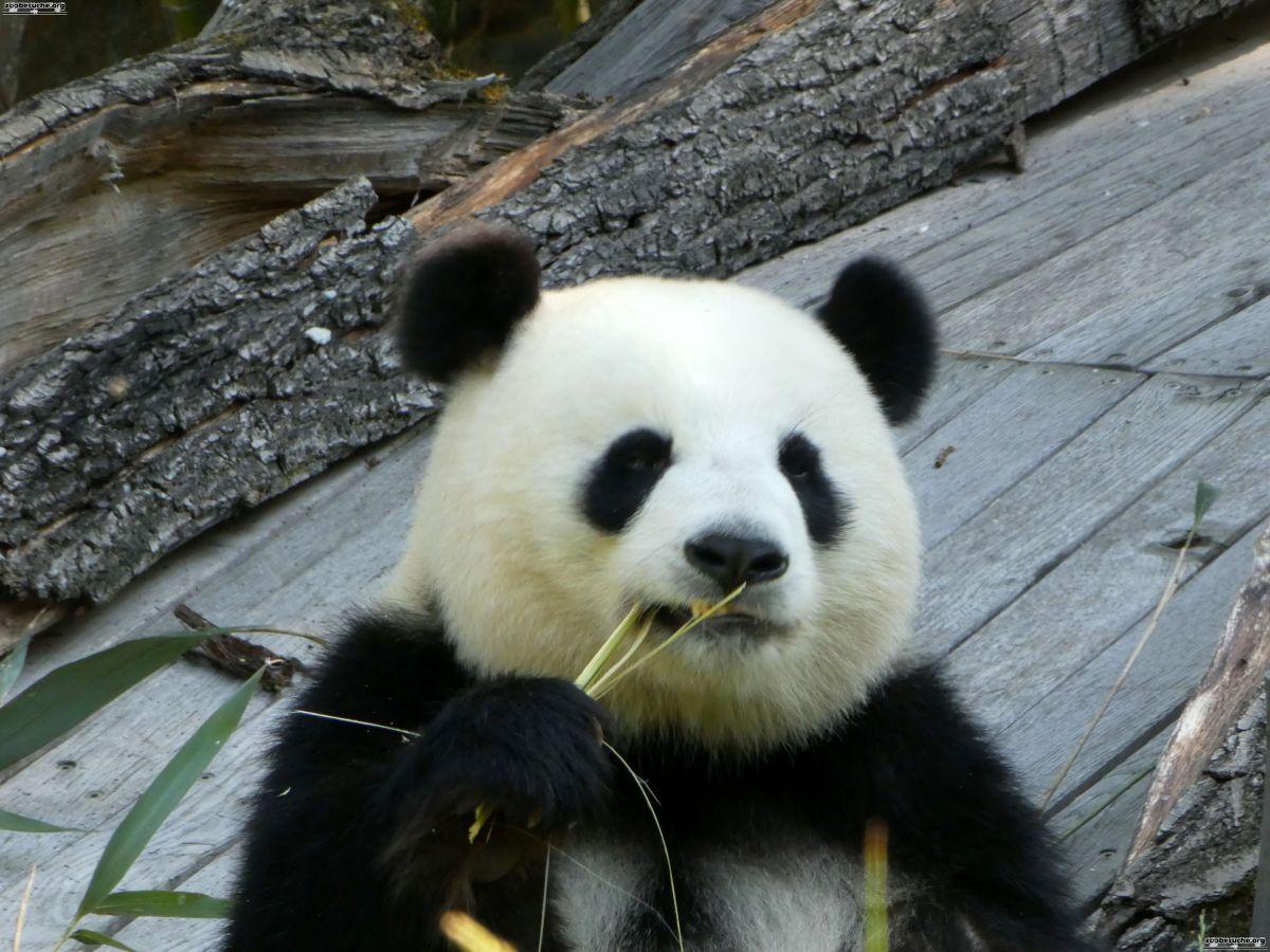 Panda  (66)