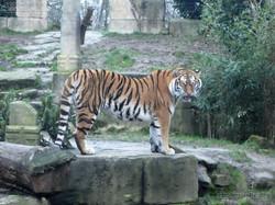 Tiger  (1)