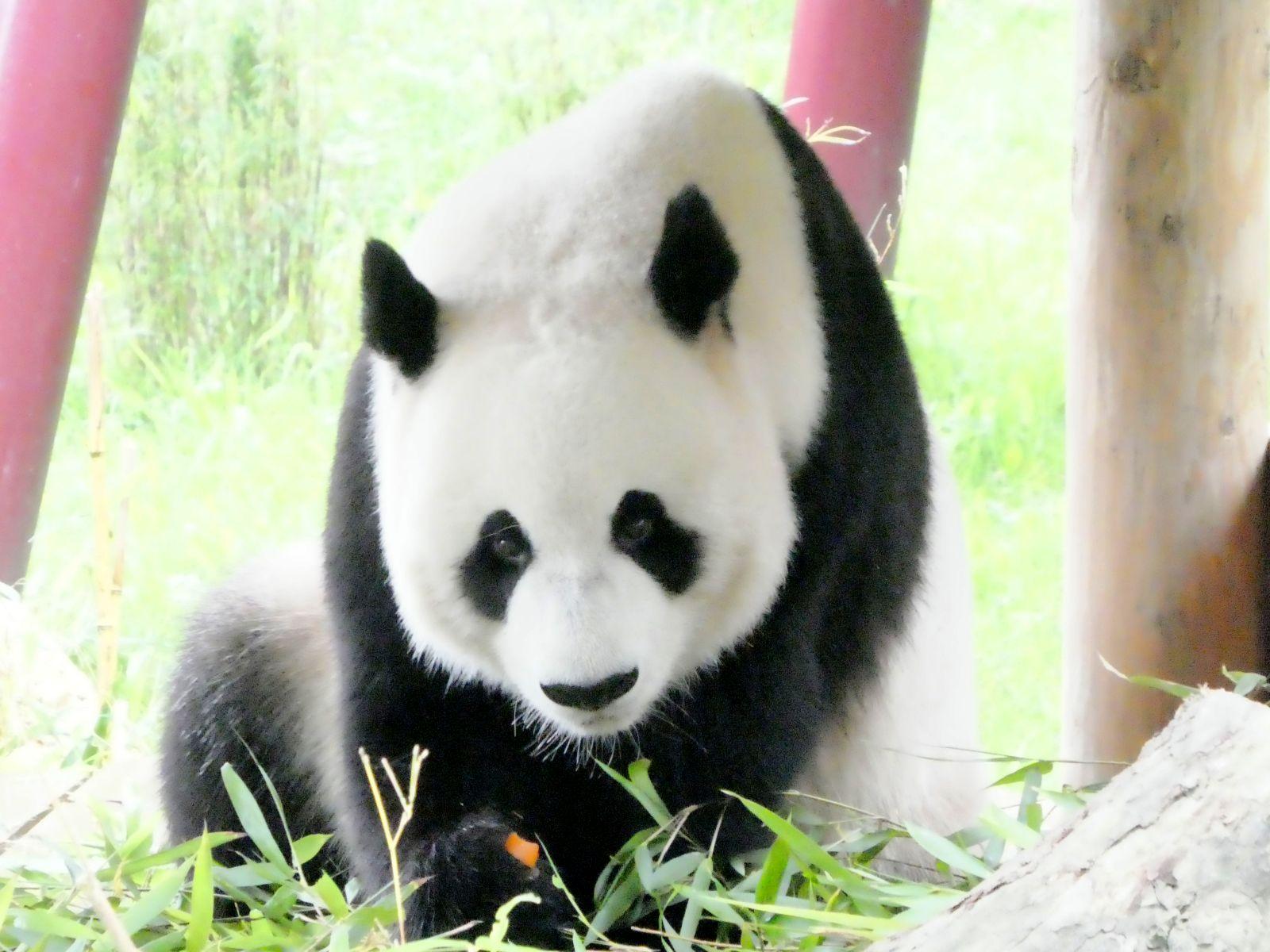Panda  (21)