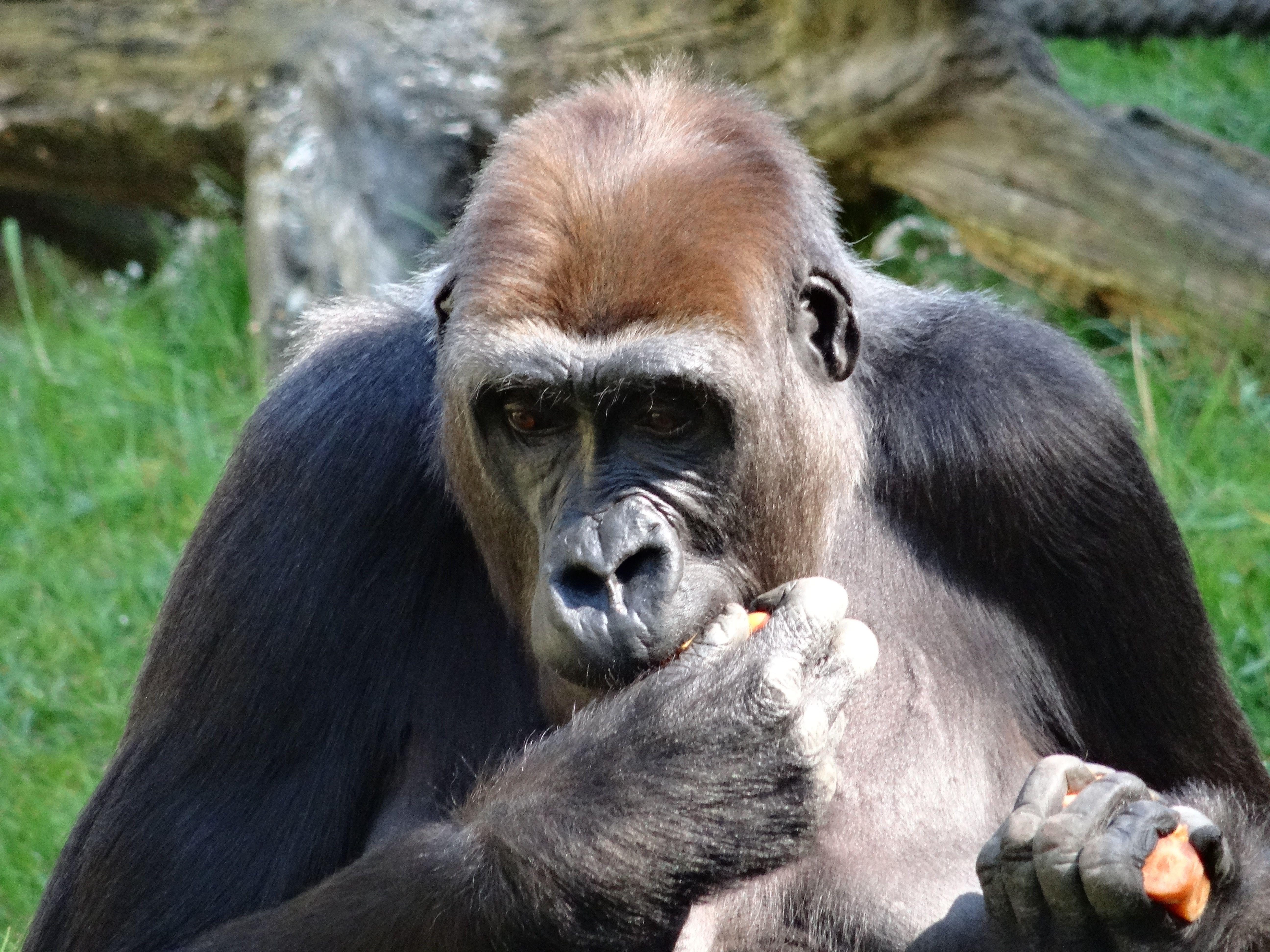 Gorilla (16)
