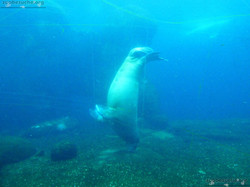 Pazifisches Walross  (3)