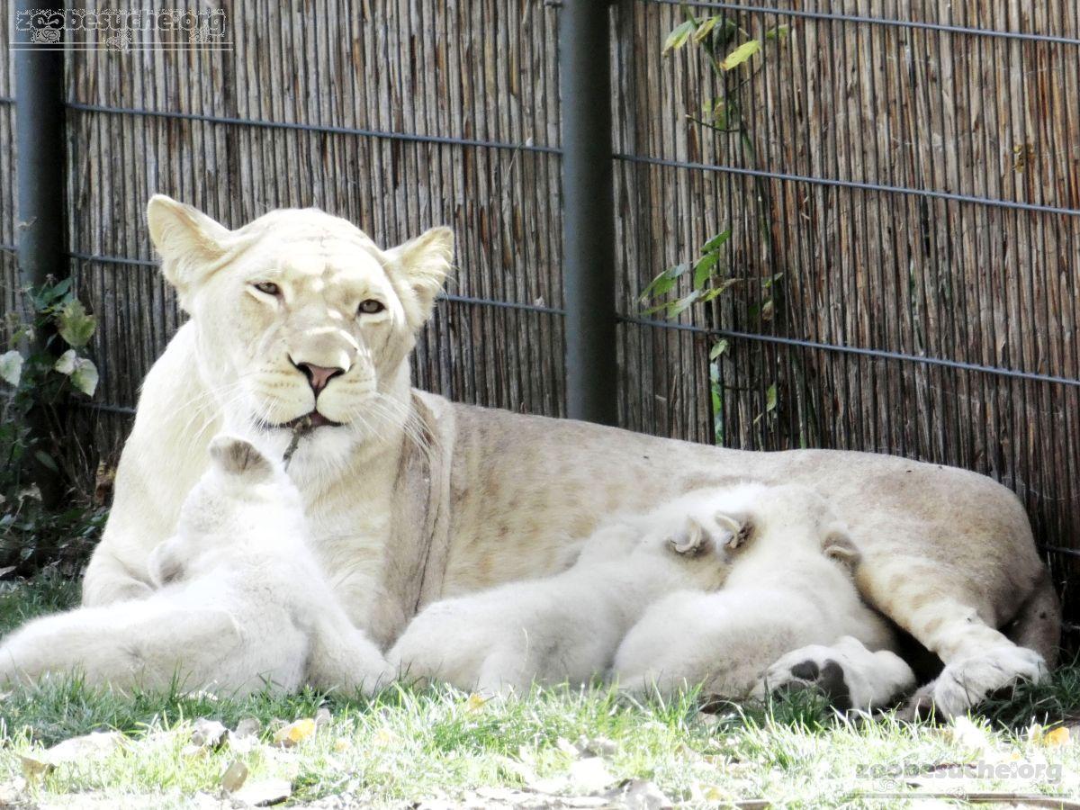 Löwen  (44)