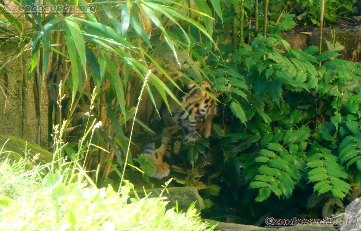 Tiger (36)