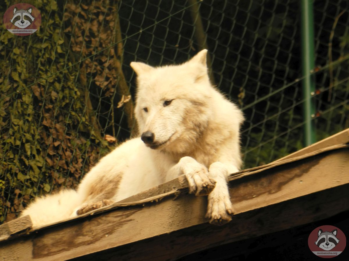 Polarwolf (3)