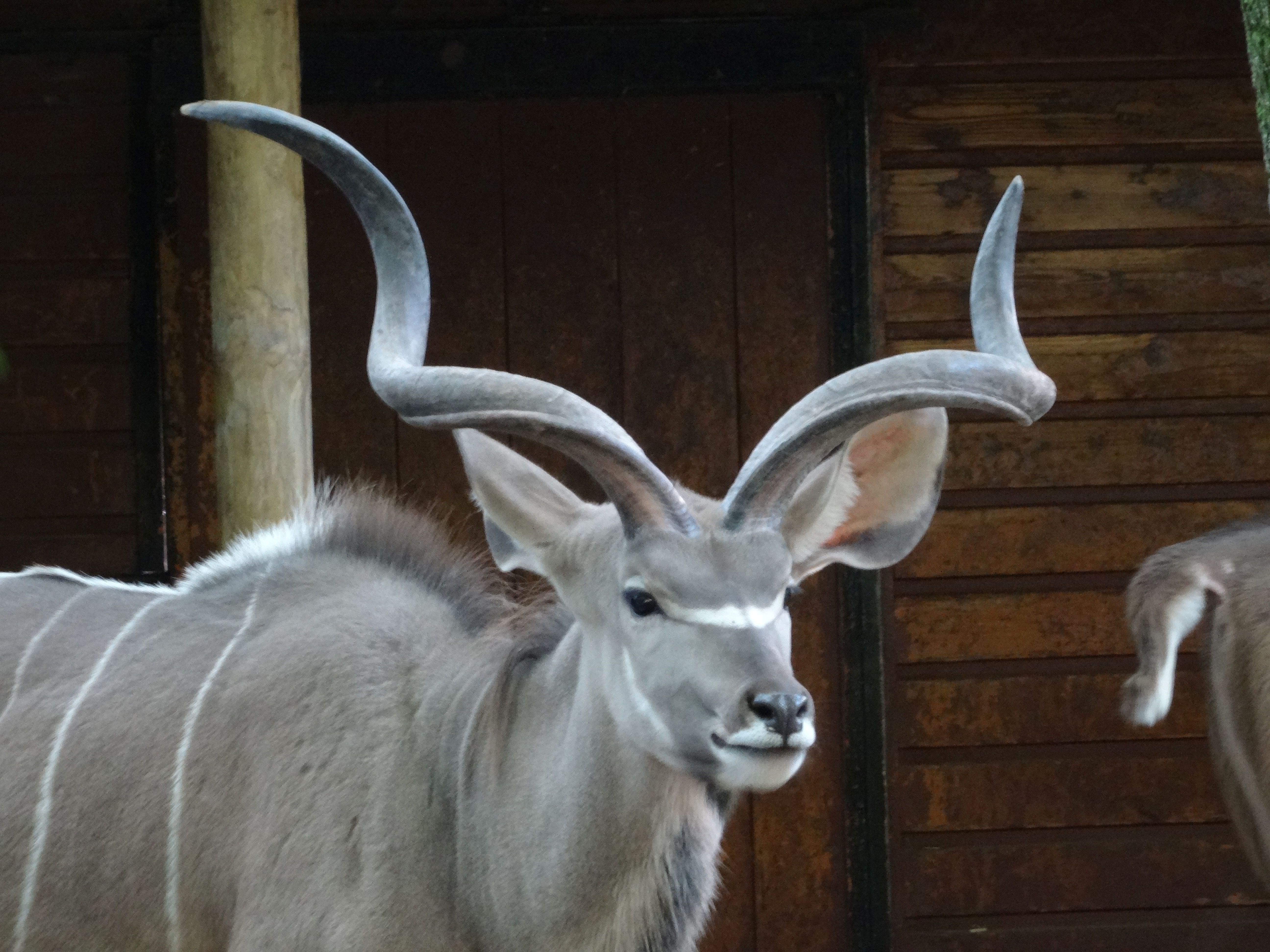 Großer Kudu 2