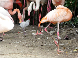 Flamingo  (5)