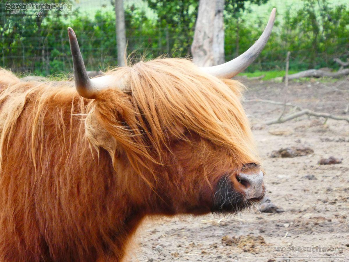 Highland Rinder  (3)