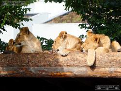 Löwen  (7)