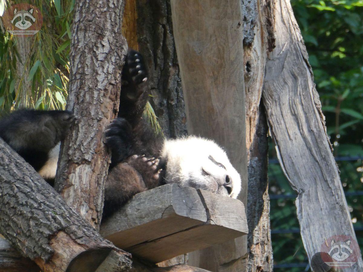 Panda Jungtier  (5)