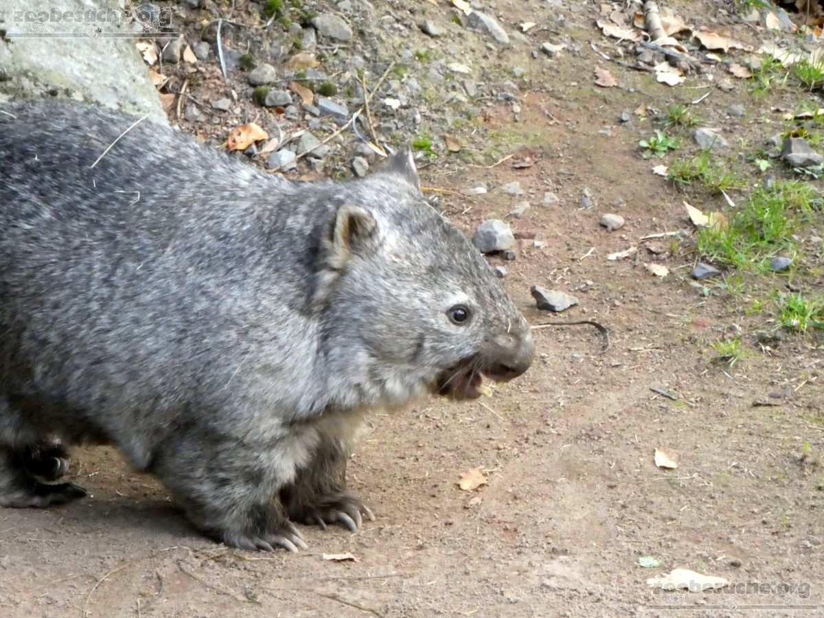 Nacktnasenwombat  (3)