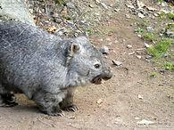Nacktnasenwombat  (3).jpg