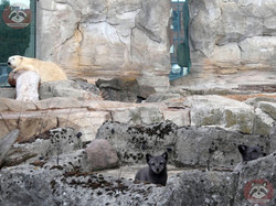 Polarfuchs und Eisbär (2)