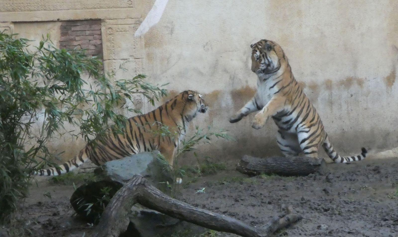 Tiger  (10)