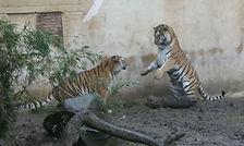 Tiger  (10).jpg
