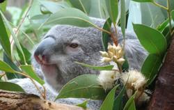 Koala  (13)