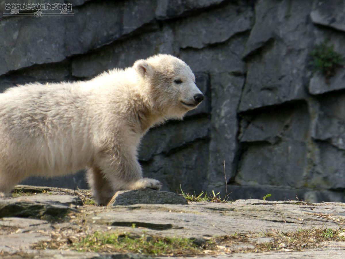Eisbär  (79)
