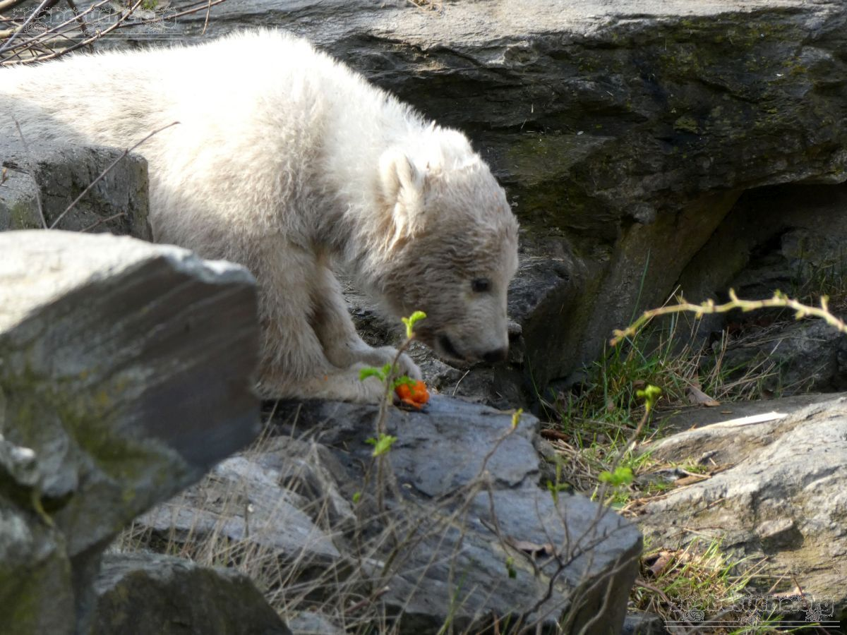 Eisbär  (95)