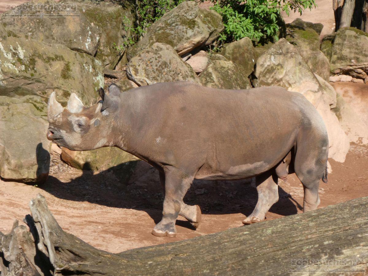 Nashorn  (2)