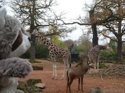 Giraffe mit Wuschel  (2)