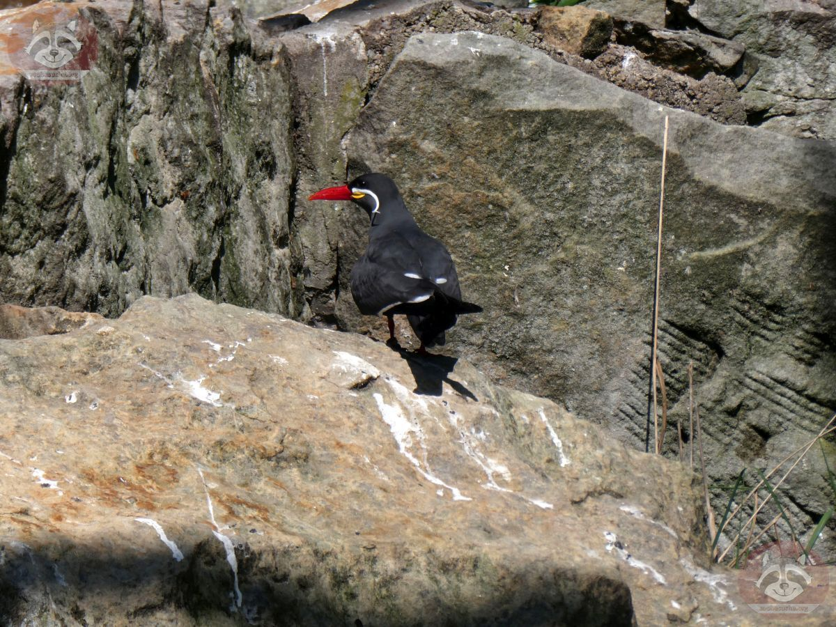 Inka Seeschwalbe  (4)