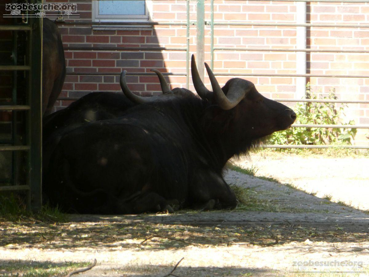 Kaffernbüffel  (18)