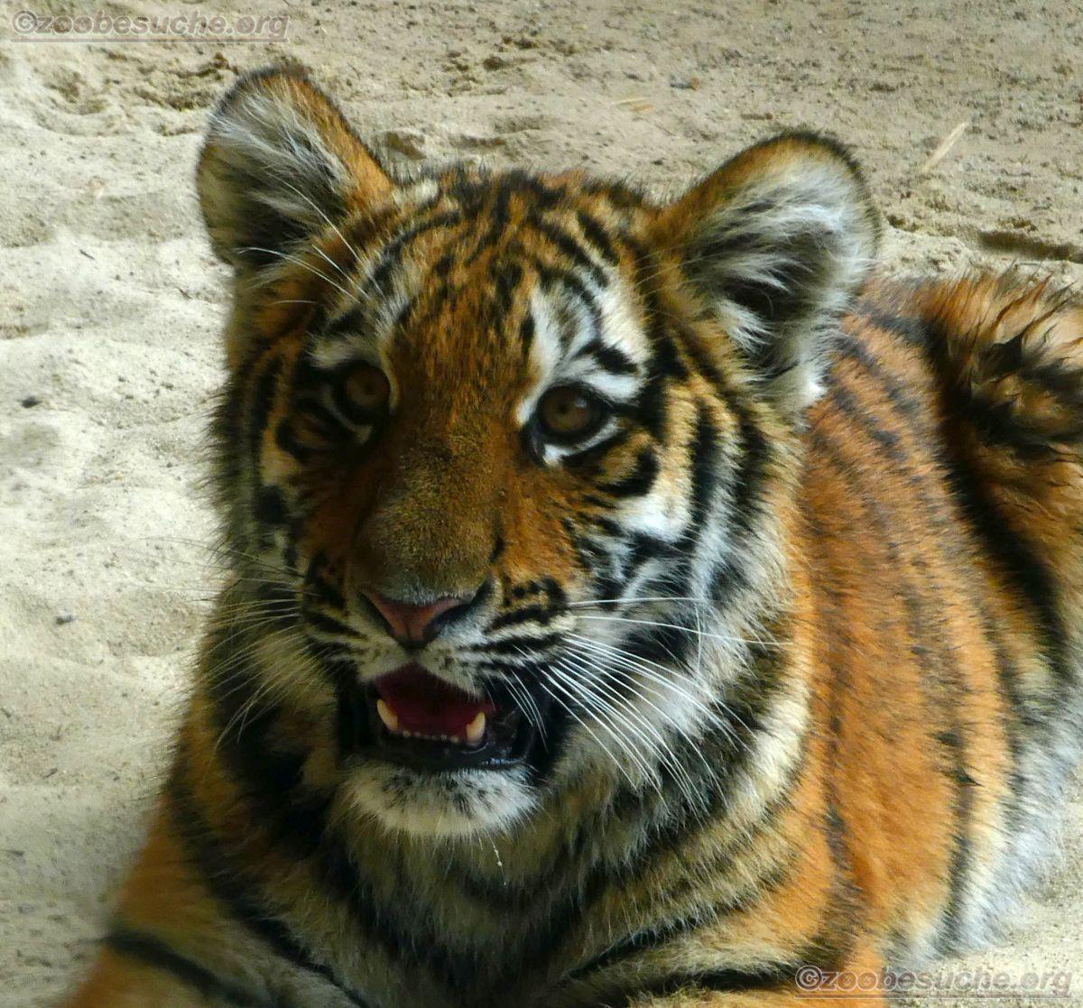 Tigerjungtiere  (18)
