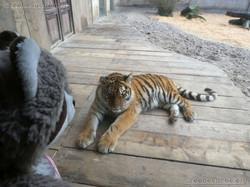 Wuschel beim Tigerjungtier  (2)