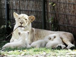 Löwen  (45)